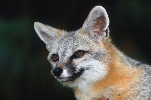 Această imagine are atributul alt gol; numele fișierului este fox.jpg